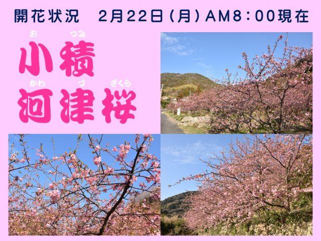 小積の河津桜開花情報